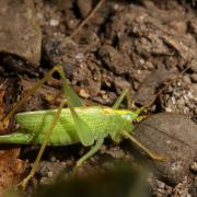 Meconema thalassinum - Méconème tambourinaire (femelle)