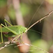 Phaneroptera nana - Phanéroptère méridional