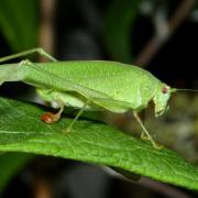 Phaneroptera nana - Phanéroptère méridional (femelle avec spermatophore)