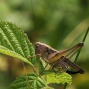 Platycleis albopunctata - Decticelle chagrinée (femelle)