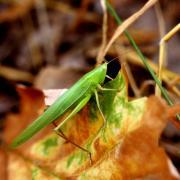 Ruspolia nitidula - Conocéphale gracieux