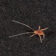 Linopodes motatorius