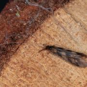 Mystacides longicornis
