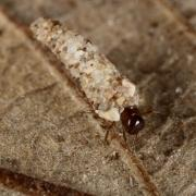 Enoicyla pusilla - Porte-bois terrestre