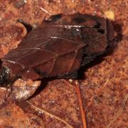 Glyphotaelius pellucidus