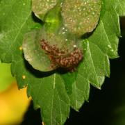 Limnephilus sp - Ponte (larvules)