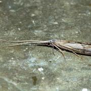 Odotoncerum albicorne